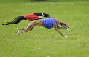 wyścigi psów - coursing